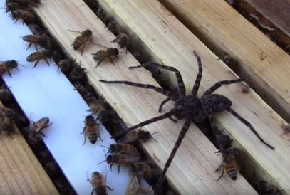 spider in a hive suffers the full wrath of bee army big spider but many bees