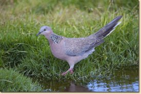 spotted dove once a tourist like myself - forages beneath tables