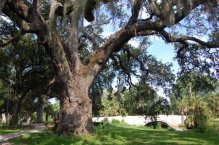 Anseman Oak in New Orleans City Park – graceful as a court lady