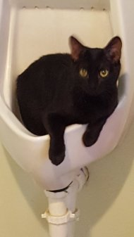 black cat in a urinal - a throne for a day