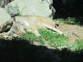 zonked out wolf at International Wolf Center Ely, Minnesota